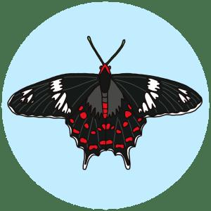 crimson roe, butterflies of bangalore