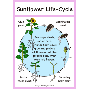 poster - sunflower life cycle