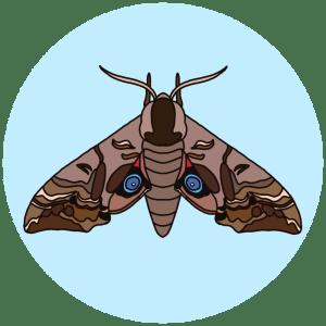 eyed hawk moth