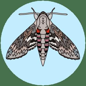 convolvulus moths