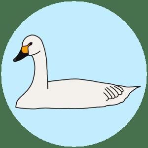 Berwick's swan