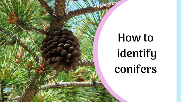 how to identify conifers