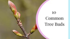 10 common tree buds