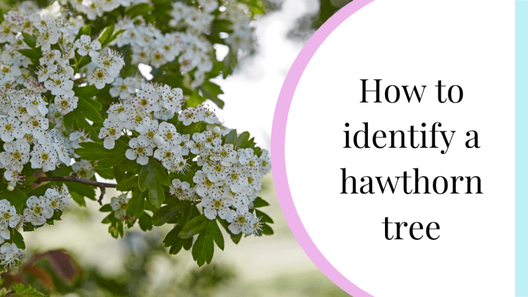 how to identify a hawthorn tree