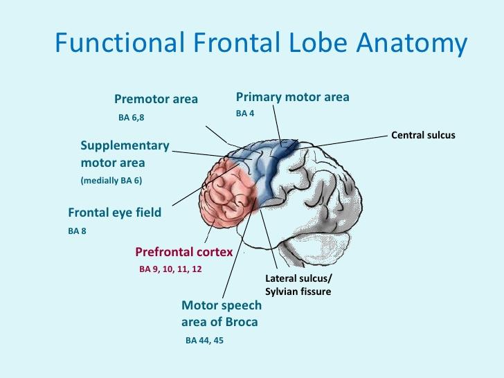 frontal-lobe-8-728