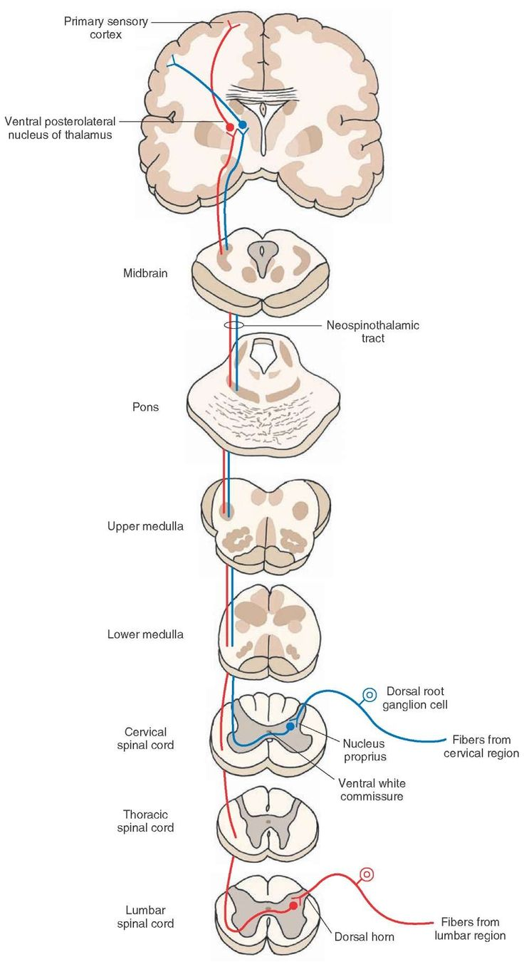 e6a044e8a38697f89dc0c595820a54c9--spinothalamic-tract-dorsal-root-ganglion