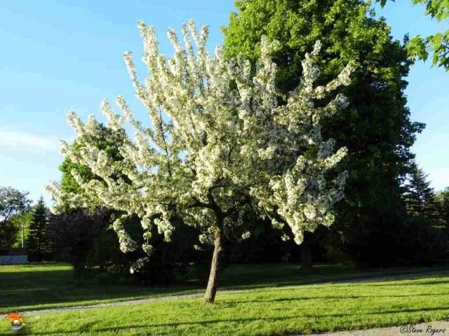 appleblossoms3