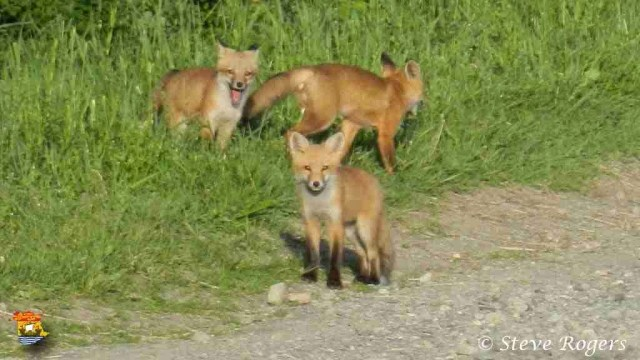 foxes2