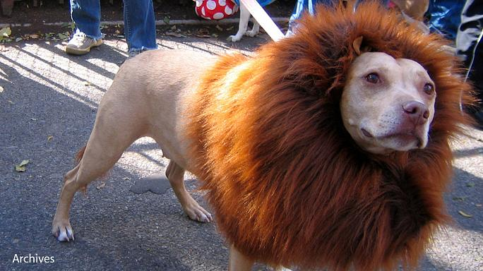 The Lion that barked in a Chinese Zoo