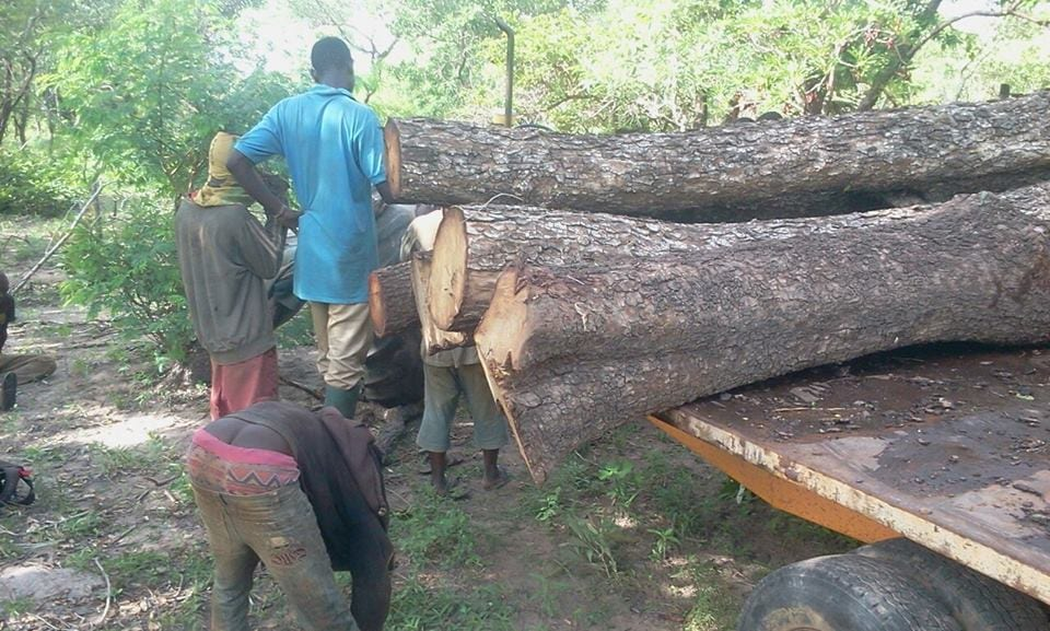 N/R:Chiefs and police accused of championing illegal logging