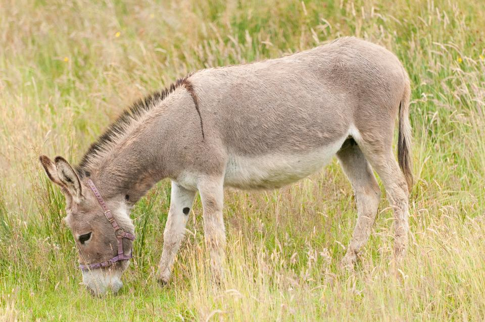15 F teens treated for rabies after GANG RAPING a donkey
