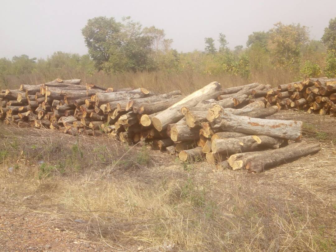 Indiscriminate felling of rosewood in West Gonja rips the environment apart