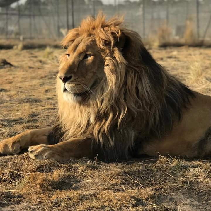 South Africa: Lion eats 'poacher' leaving only his head for identification