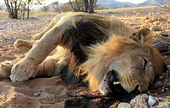 This will make you sad: 3 lions and 8 baby cubs poisoned at Uganda's National Park