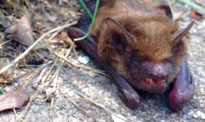 King County's first rabid bat of the year identified in Sammamish yard