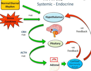 Cortisol is the endogenous glucocorticoid