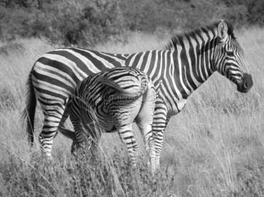 Zebra & baby, Pilanesburg