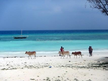 Cows on the beach!