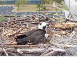 Orange Beach Osprey Nest Webcam 05