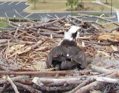 Orange Beach Osprey Nest Webcam