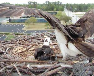 Orange Beach Osprey Nest Webcam 12