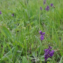 A cluster of Green Winged Orchids found in a meadow.