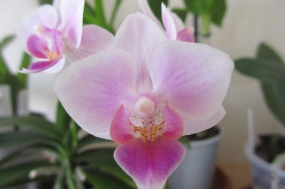 Phalaenopsis in bloom