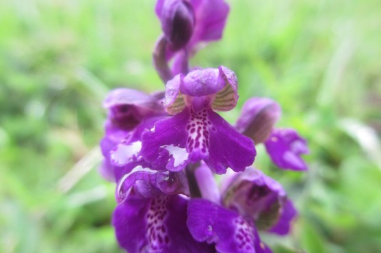 A close up of the flowers on the Green Winged Orchid.