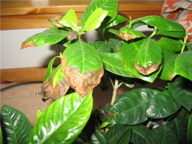 У гортензии сохнут листья - определяем причину как реанимировать видео
