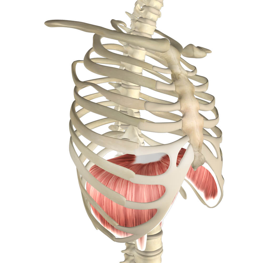 Breathing difficulty can be caused by the diaphragm muscle, intercostal muscles and breathing accessory muscles in the front of the neck, front of chest and abdominal area. Myotherapy can help. Try these helpful exercises.