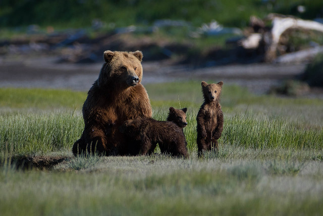 /Users/sarah/Documents/Upwork /June Vacations/Kenai Photos/Bear and cubs.jpg
