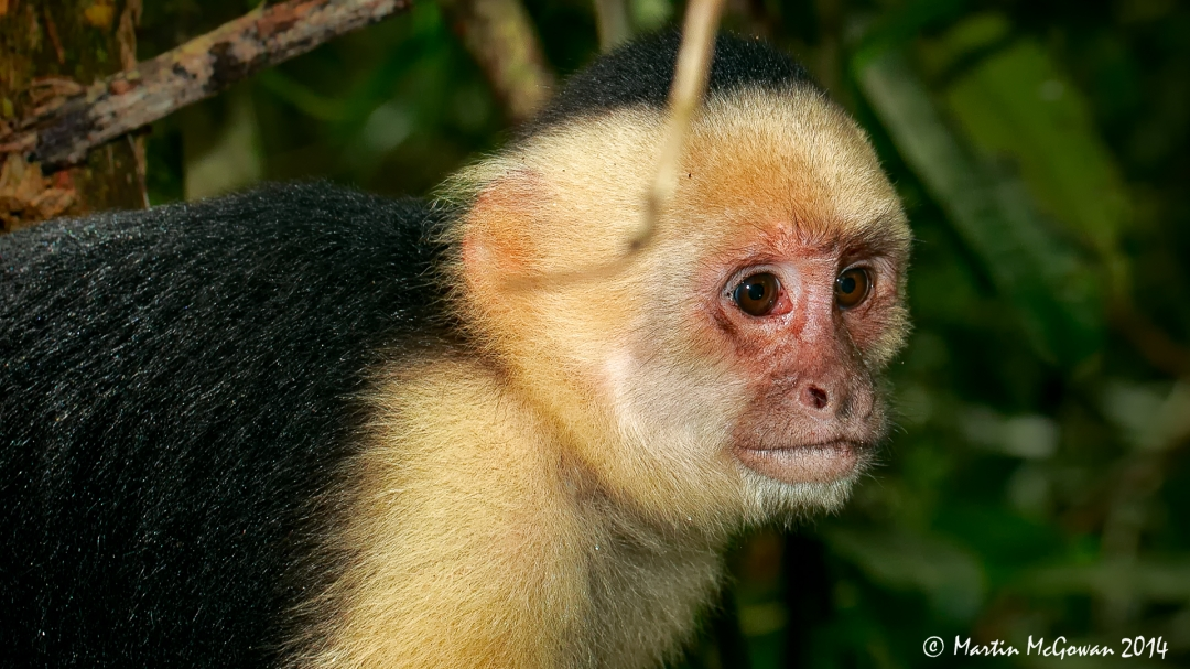 Manuel Antonio National Park, White Faced Capuchin