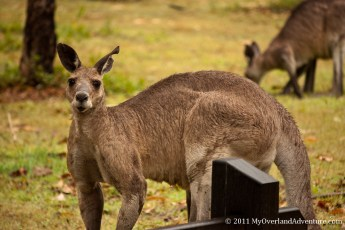 Male Kangaroo at Carnarvon Gorge
