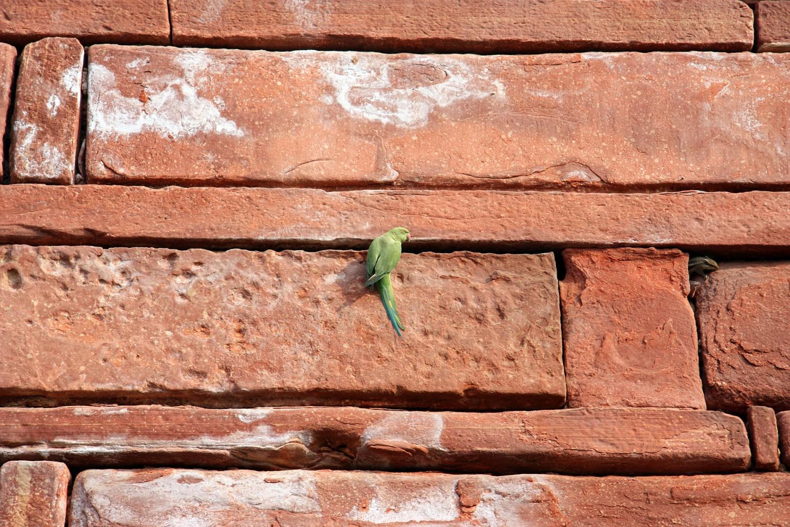 Taj Mahal - Parrot