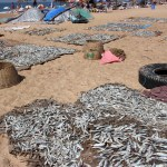 Candolim Beach - Fish being dried