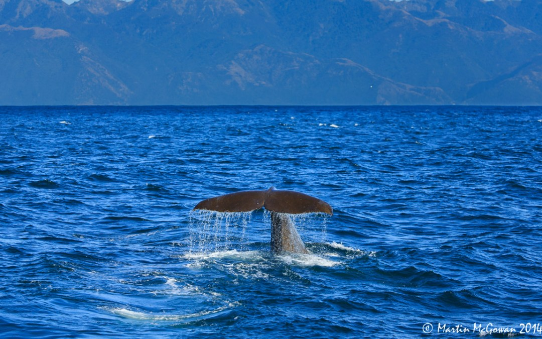 Kaikoura – Giant Sperm Whales
