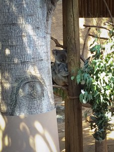Koala and baby at the Los Angeles Zoo