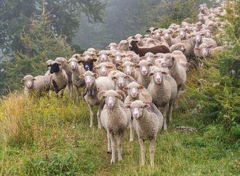 Sheep 1298905637287652