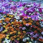 こうち春花まつり2015:高知市~中央公園が春の花に囲まれた三日間の楽しいイベントでした