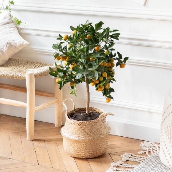 fete-des-meres-idees-cadeau-plante-oranger-bergamotte
