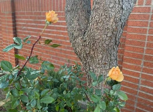 This Yellow Rose of Texas is Still Blooming