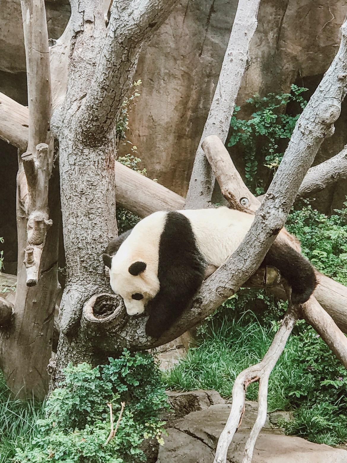 Panda at the San Diego Zoo, California