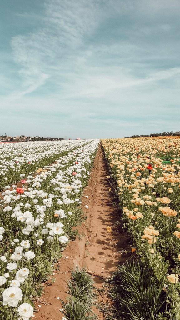 The Flower Fields in Carlsbad California