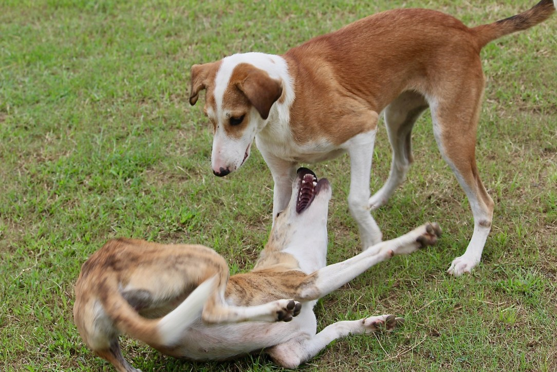 Image of two stray dogs playing