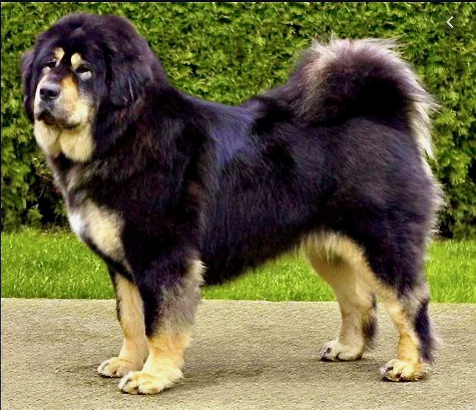 Image of a tibetan mastiff