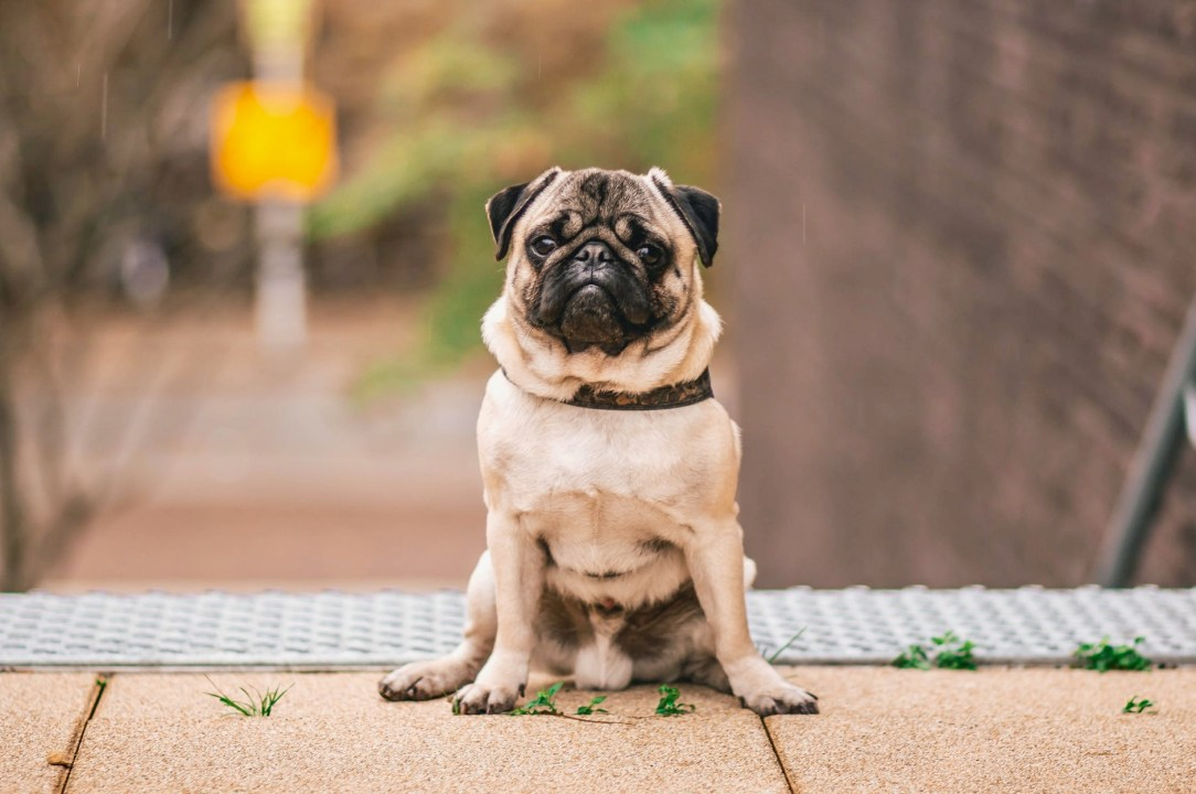 Image of a chinese pug in the blog the foreign dog breeds saga