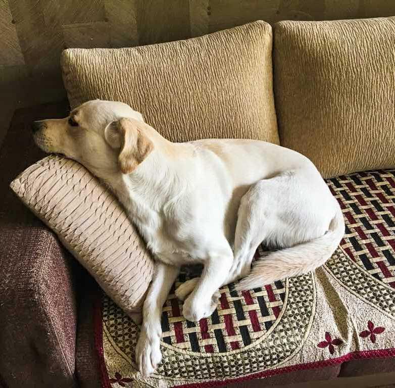 Bosco, sleeping on the sofa.