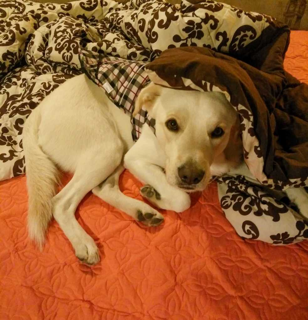 Image of Bosco, sleeping under the blanket in the blog : Should You Let Your Dog Sleep in Bed With You