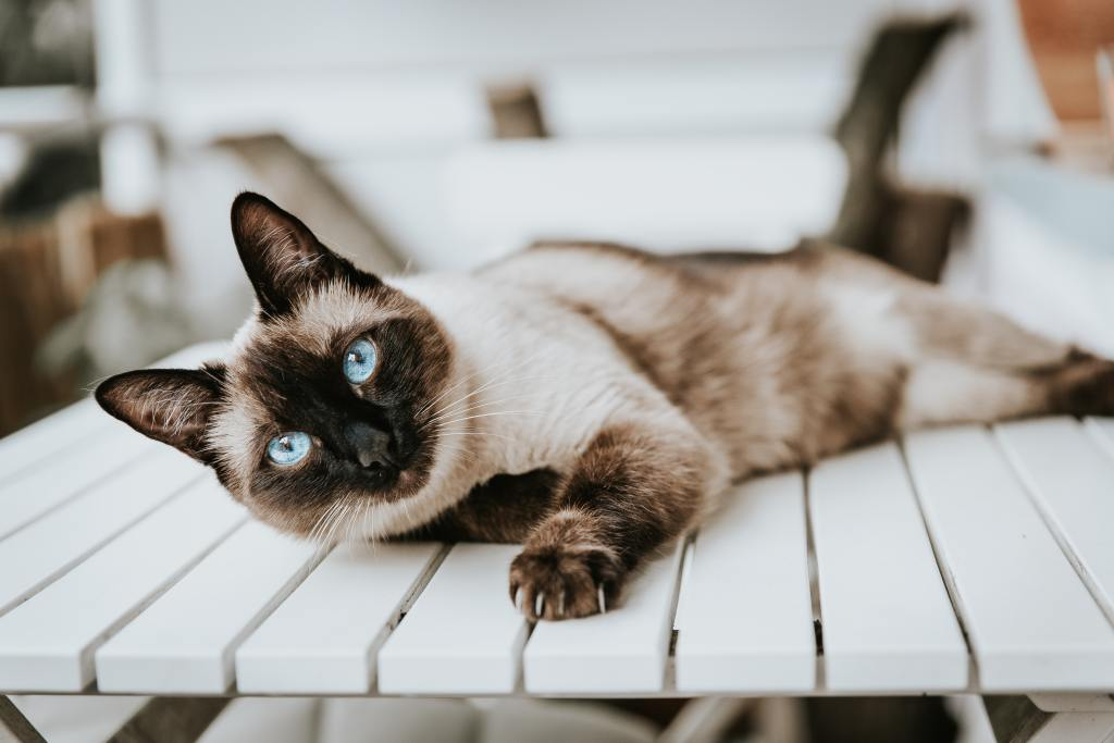 Image of a Siamese Cat