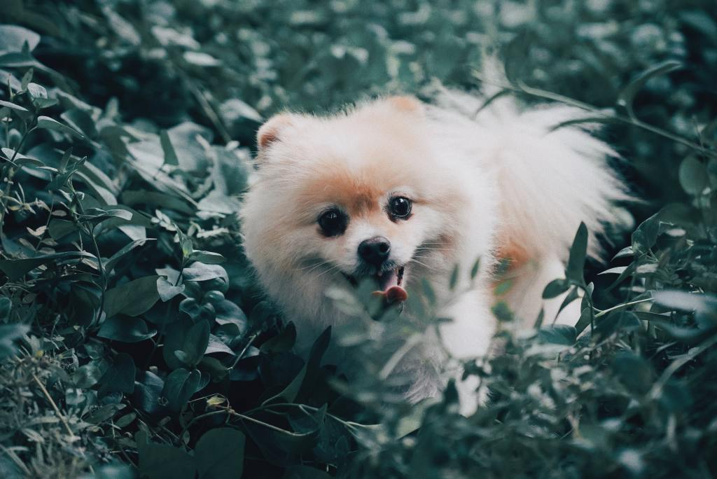 Image of the dog breed - Pomeranian in Top 10 Dog Breeds In India